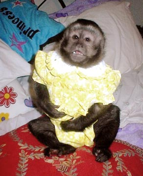 Pet monkeys dont like car crashes or being dressed up.