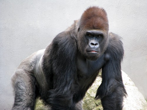 cleveland-zoo-gorillas.jpg