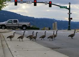 geese-road.jpg